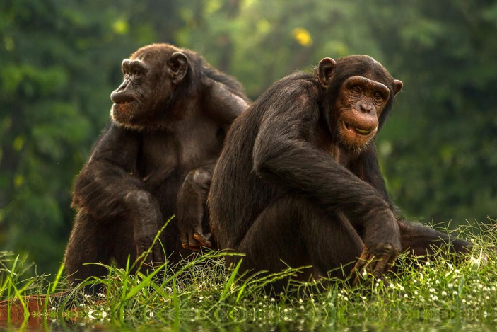 şempanzelerin özellikleri