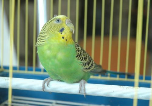 En pahalı Muhabbet Kuşu Fiyatları – Satılan En Pahalı Muhabbet Kuşu